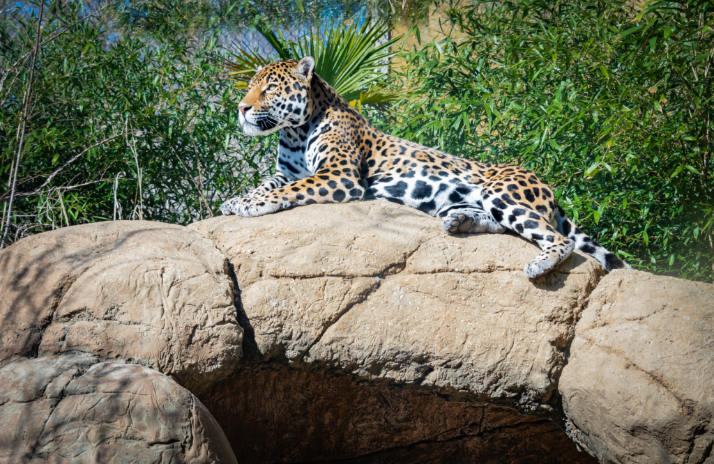 Leopard sat on a rock
