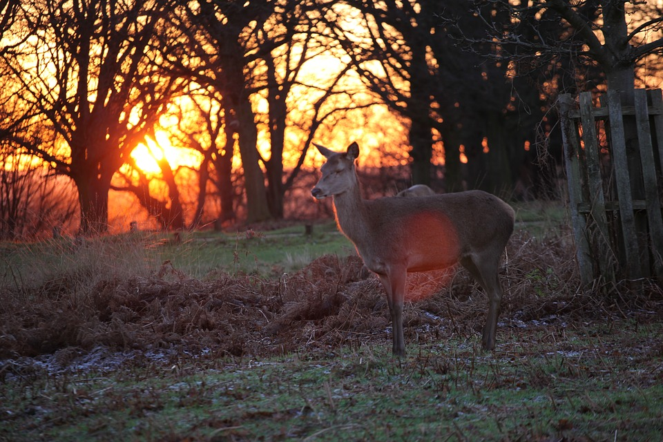 Richmond Park, Deer, in London
