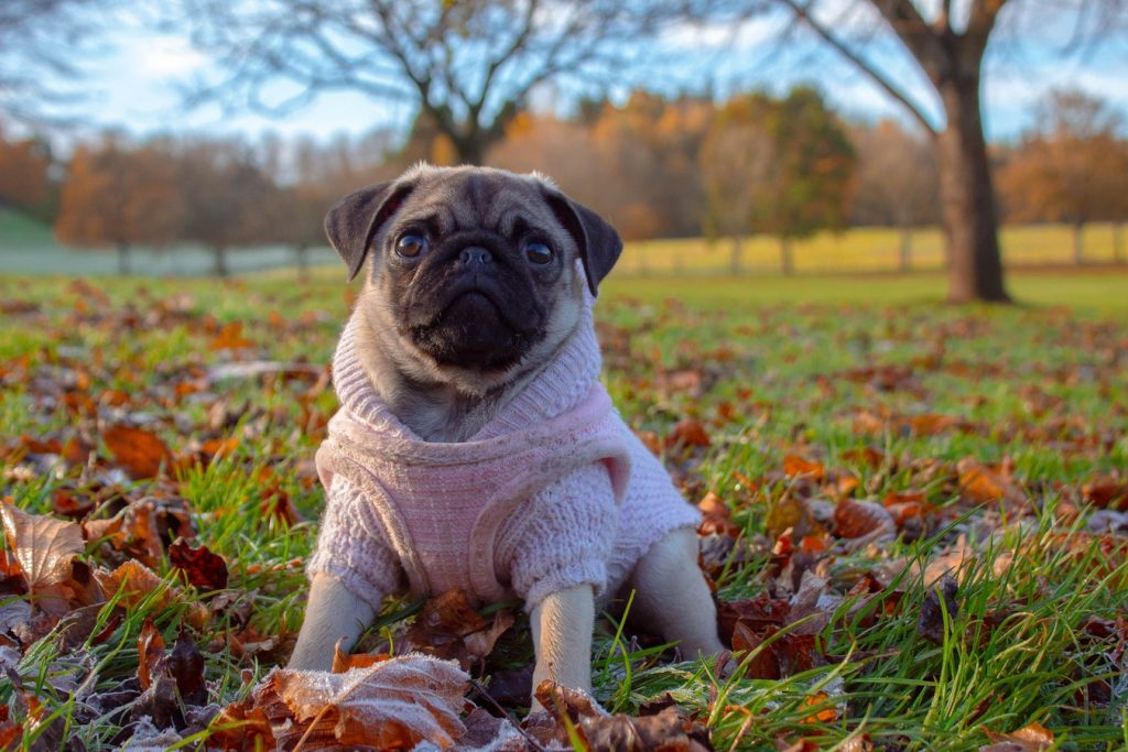 Pug seats on leaves in the St Anne's Park