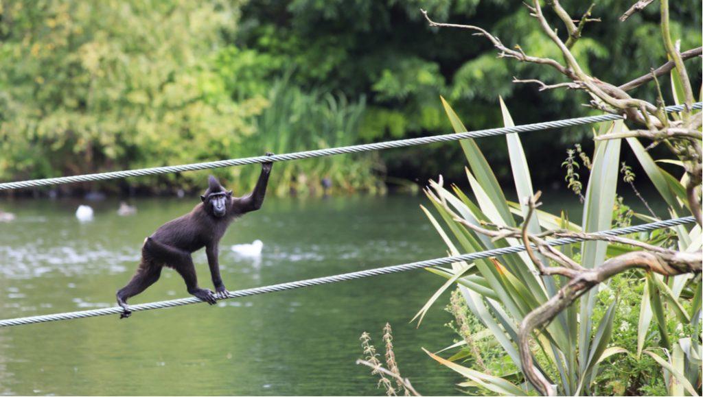 A monkey walking on tight rope in Dublin Zoo