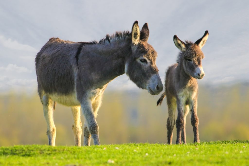 2 donkeys on the hillside. 1 is a baby