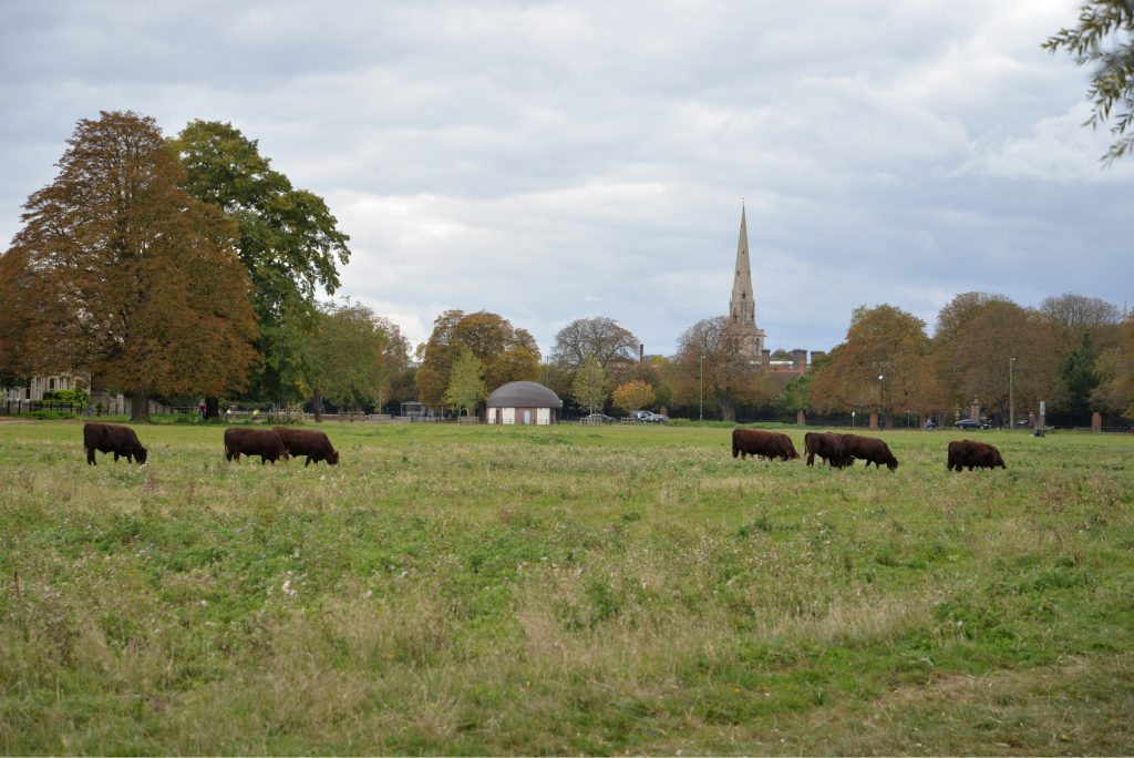 Cows grazing on Midsummer Common in Cambridge